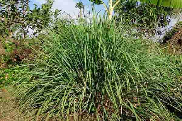 citronella plant mosquito repellent: photo