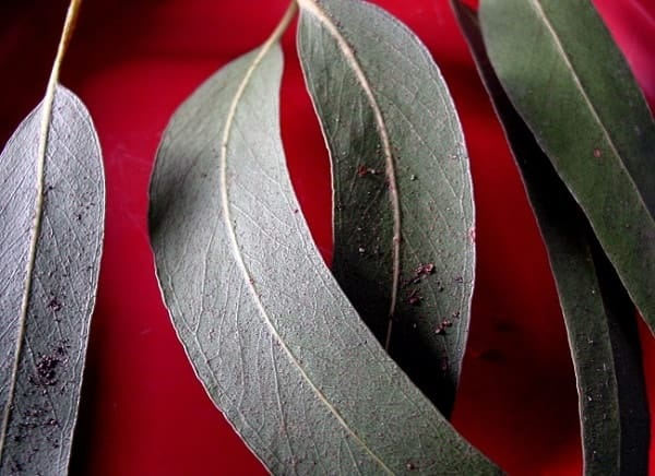 eucalyptus that keep mosquitoes away: photo